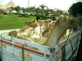 Egypt Truckload of Camels by AndySerrano