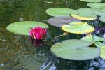 Water Lily 24 by CD-STOCK
