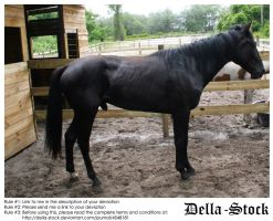Skinny Black Stallion by Della-Stock