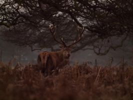 Red Deer Stag 00 - Dec 09 by mszafran