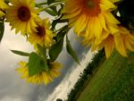 sunflowers3 by PetiteReveur