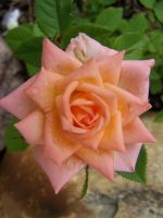 Peach Rose by peacetree7