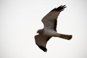 The Northern Harrier by Iamidaho