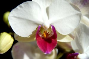 White Orchid by MadMoonInc