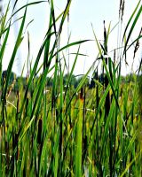 Cattails 1 by ParadoxGirl411
