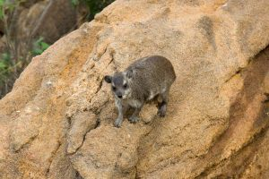 Hyrax Stunt by DeviantTeddine