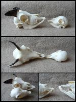 Comparison: Adolescent and Juvenile Mouflon Skulls by CabinetCuriosities