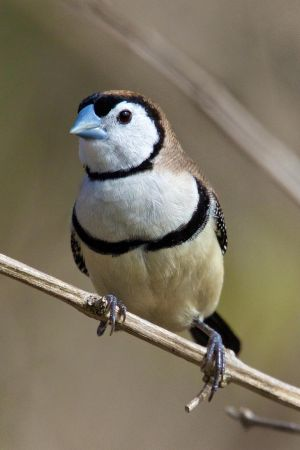 Double-barred Finch by strictfunctor