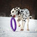 Dalmatian Puppy by DeingeL-Dog-Stock