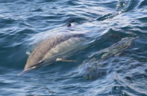 Common Dolphins 0115124 by OrcinusPacifica
