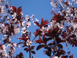 Plum in bloom by climber07
