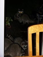 5 Baby Raccoons 2012 by Jace-Lethecus
