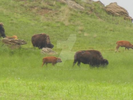 Bison babies by C-Redfire