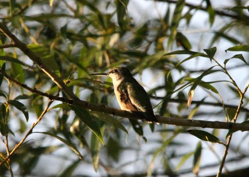 Female Hummingbird 8-24-15 by Part-Time-Cowboy