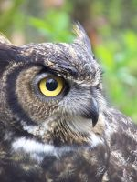 Great Horned Owl by firestorm152