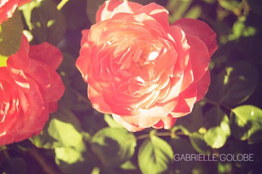 Twilight Rose 001 by MsGabrielle
