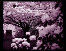 Cherry Blossoms by Slashara