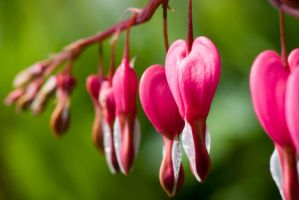 Dicentra 1 by horus40