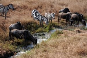 Zebras and Wildebeests by xxJY