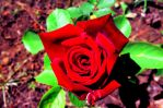 Rose Red by LilArtist23