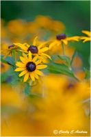 Black-Eyed Susan II by CecilyAndreuArtwork
