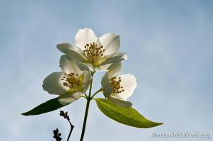 White Blossoms in the Sun by amrodel