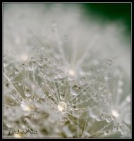dandelion3 by har-MONIc