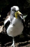 White Headed Lapwing Spurs by Ciameth