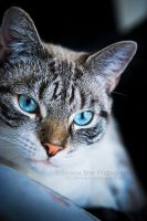 Blue Eyed Kittie by OfficialSerenaStar