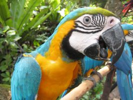 Blue and Gold Macaw by James-Fong