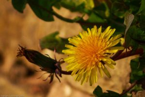 Dandelion Flower by GMCollins