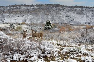 Mule Deer at Red Rocks Park by mttomimages