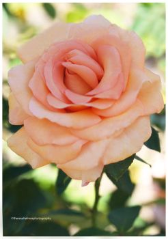 Beautiful Rose from My Garden by theresahelmer