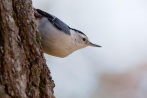 White Breasted Nuthatch  4 by bovey-photo