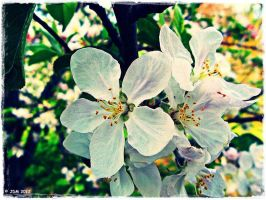 Apple Blossoms 2 by JDM4CHRIST