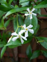 Stock Flower Jasmine by Sheiabah-Stock