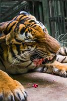 PZ Malayan Tiger Meal by OrangeRoom