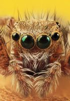 Jumping Spider Face by dalimas