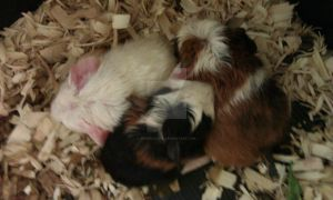 Freshly born Guinea Pigs by ChibiSalLina