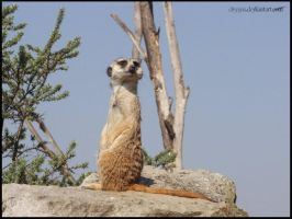 Meercat I. by Clergna