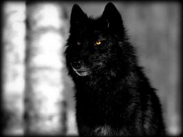 Black Wolf by NeonNumber3