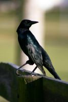 Crow Stock 2 by GloomWriter
