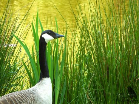 Goose in Long Grass by NGillisonPhotography