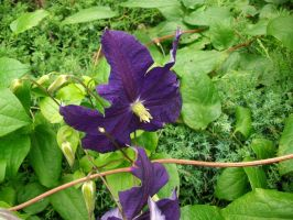 Purple Clematis by leatherzebra