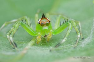 Epeus Jumping Spider by melvynyeo