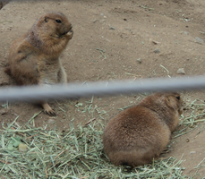 Zoo photo Prairie Dogs by The-Clockwork-Crow