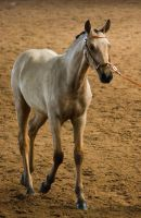 STOCK - 2014 Andalusian Nationals-54 by fillyrox