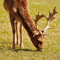 Young deer by Stefania-R