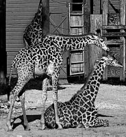 YOUNG GIRAFFES black and white by CorazondeDios