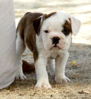 Harrison by NobleBulldogges